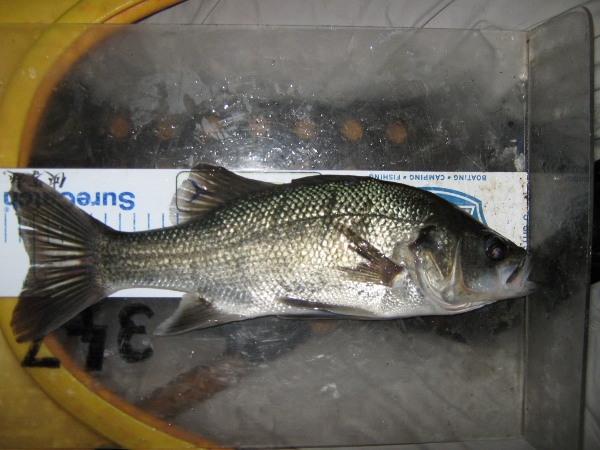A 35cm bass which are everywhere in this system