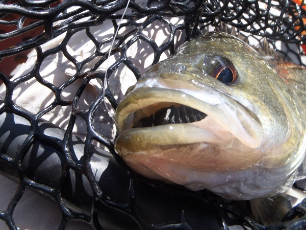The 39cm bass engulfed the softshell!