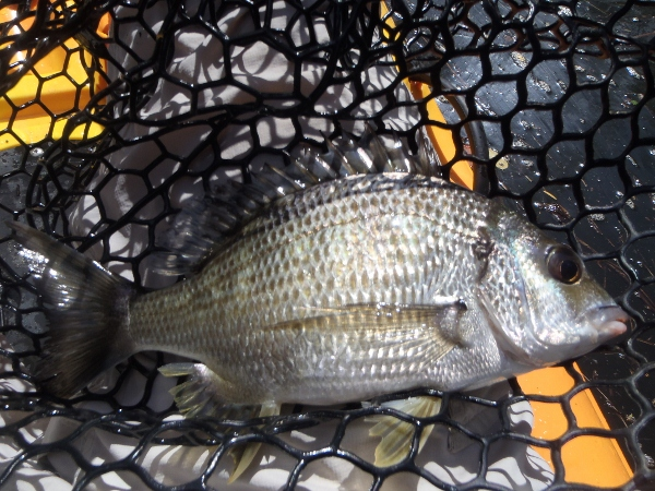 A 21cm bream is definitely not a bass!
