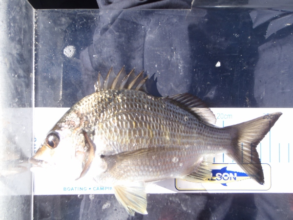 The first average bream that cam off another sand bank on an inner bend