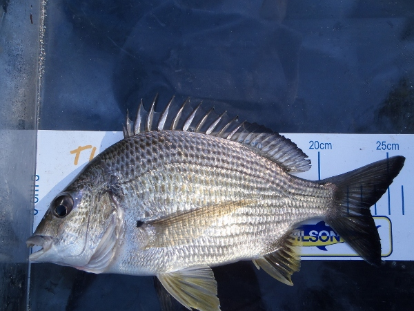 Another average bream finished the session