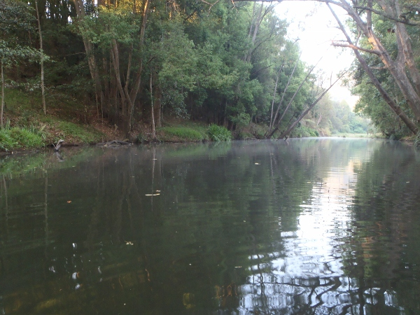 Perfect conditions for surface fishing except for the leaves